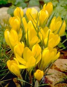 荷兰进口种球番红花/金黄/Golden Yellow/10+