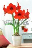 荷兰进口种球朱顶红/橙色首领/Orange souverign/30/32