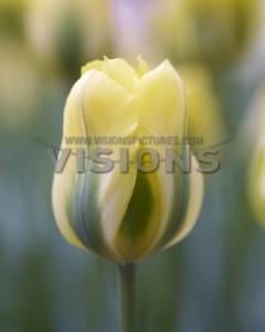 荷兰进口种球郁金香自然球/黄春之绿/Yellow springgreen/12+