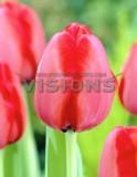 荷兰进口种球郁金香自然球/红色印记/Red Impression/12+