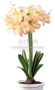 荷兰进口种球朱顶红/桃花/Peach Blossom/30/32